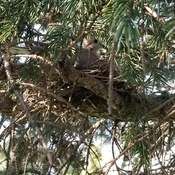 mourning doves sitting in a nest