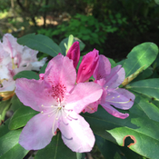 Rhododendron blooming in Procter, BC Canada.
