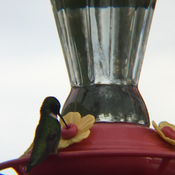 Busy hummingbird