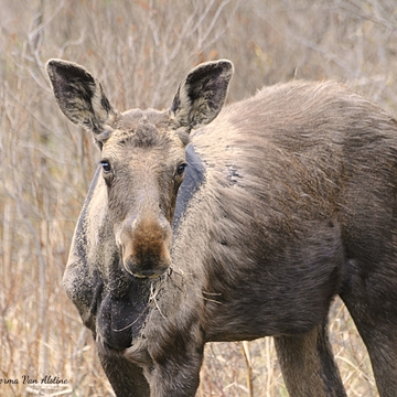 Adorable Moose Yearling