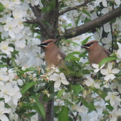 Waxwings and blossom