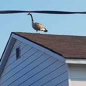 goose on top of roof