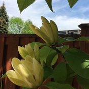Yellow Magnolia in full bloom
