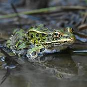 Leopard Frog making bubbles