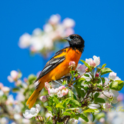 Baltimore Oriole in flower