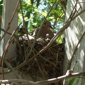 Baby Mourning Doves in their nest