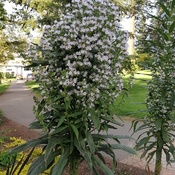7 ft. tall plant-- masses of flowers