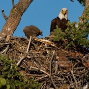 Bald Eagle parents and two eaglets.