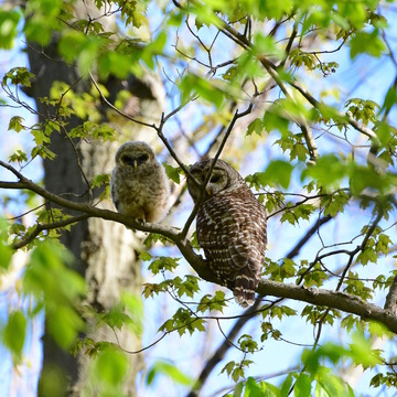 Barred Owl Pair