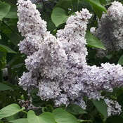 sweet smelling lilac bush.