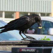 the crow is eating a french Fry