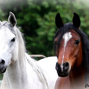 Straight Egyptian Arabian mares