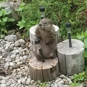 Back yard Groundhog