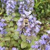 Old Bee with blue spot