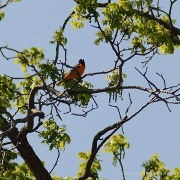 Oriole in the tree