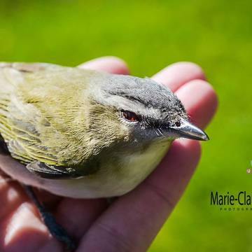 Vireo aux yeux rouges