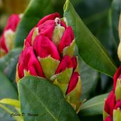 Rhododendron bud opening