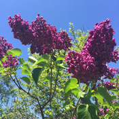 Spring time with lovely deep purple lilacs.