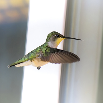 Hummingbird Female with a Yellow Throat