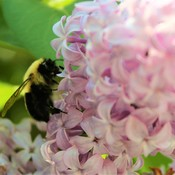 Bumble Bee On A Sunny Afternoon