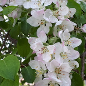 Finally it feels like spring..apple blossom time