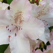 pretty white rhododendrons