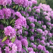 A full hedge of rhododendrons !