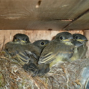 Five Eastern Phoebe nestlings