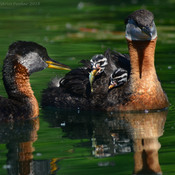 Red Necked Grebe babies