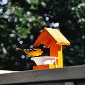 Oriole enjoying grape jelly