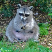 Pregnant Raccoon