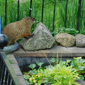 Groundhog at pond