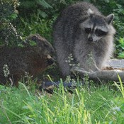 Our resident raccoon and groundhog