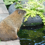 groundhog by the pond