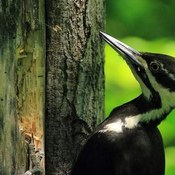 pileated woodpecjer