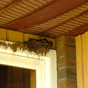 Barn Swallows Nest Building