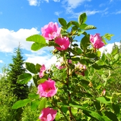 Beautiful Alberta Wild Rose