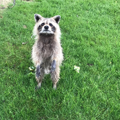 Raccoon on hind legs