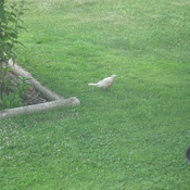 Rare White Robin Fledgling spotted in Burstall, Saskatchewan
