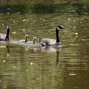 Geese Family Sunday Swim