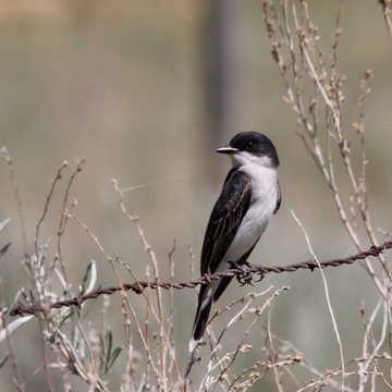 Easter Kingbird