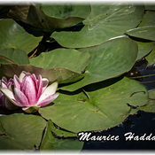 Nymphéa = Water Lilly