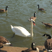 Swan and geese