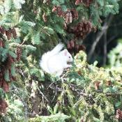 Rare white squirrel