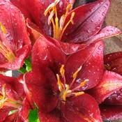 Blood Red Lily