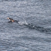 Yipee... Puffin Frolicking in Newfoundland