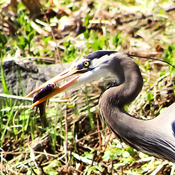 A Heron's Snack