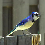 Mr.Blue Jay