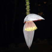 Flowering banana at night
