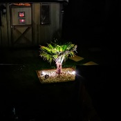 My Palm Tree growing in Cambridge ontario z6a